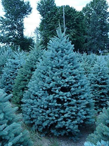 25 Semillas de Abeto Azul (Evergreen Colorado, Blue Spruce)