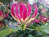 Portal Cool 50 Samen: 50 Gloriosa Superba Samen, Flamme Lily, Feuer-Lilie, Gloriosa Lily, Ruhm Lily