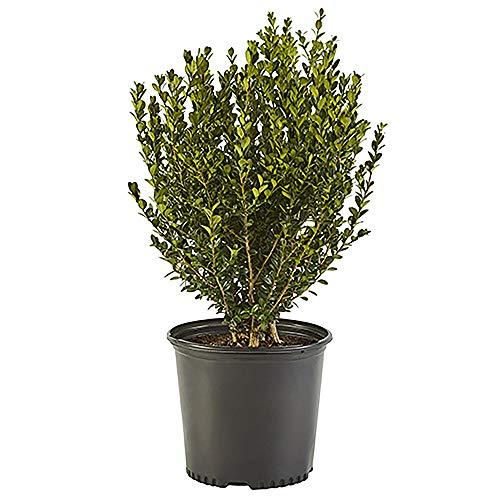 Shrub Wintergreen Boxwood 2.5 Qt, Green Foliage