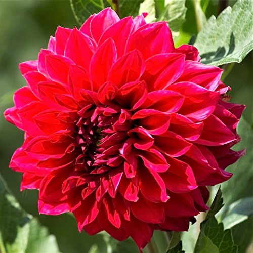Red Dinnerplate Dahlia Barbarossa (3 Large Bulbs) Huge Blooms | Ships from Easy to Grow TM