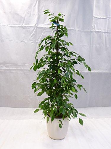 "[Palmenlager] - Ficus benjamini\""Exotica\"" 160/170 cm/Zimmerpflanze"