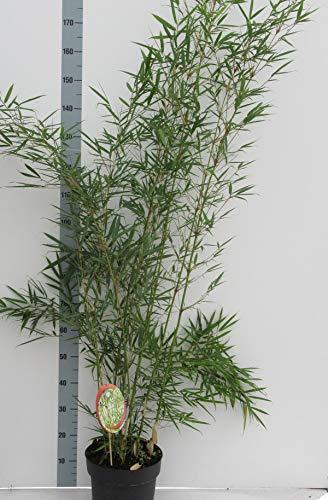 Fargesia robusta \'Campbell\' Topf C1-1 Liter - Hoher Heckenbambus - Zebra Bambus