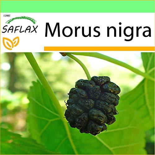 SAFLAX - Mûrier noir - 200 graines - Morus nigra