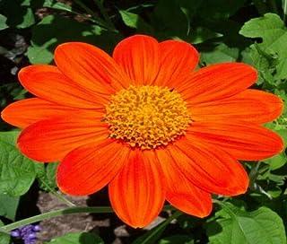 Sunflower Mexican Torch Tithonia Rotundifolia jocad (100 Seeds)