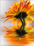 Poster 60 x 80 cm: Gerbera Wassermelodie von Renate Knapp -