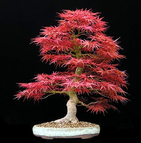 Grandes ventas !!! 20pcs semillas de arce azules chinos azul bonsai semillas del árbol de arce raras Bonsai Plantas Árboles para plantadores maceta