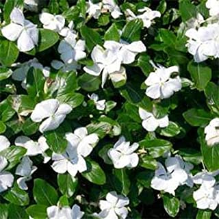 Best planting periwinkle ground cover Reviews