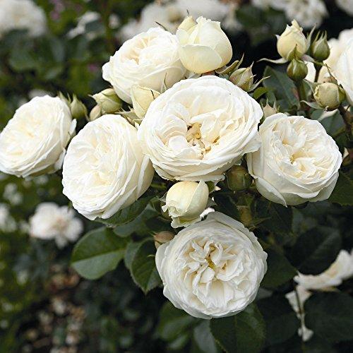 Rose Artemis Strauchrose mit Blüten-Farbe weiß bis grünlich - Winterharte Blume mit starkem Duft - Blütezeit von Juni bis Oktober von Garten Schlüter - Pflanzen in Top Qualität