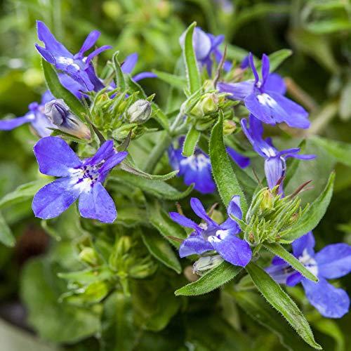 Pflanzen Kölle Männertreu, 6er-Set, blau, Topf 12 cm Ø