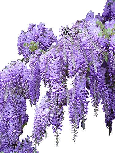 Blauregen >Wisteria sinensis< 3 Samen (Schöne blühende Kletterpflanze Winterhart)