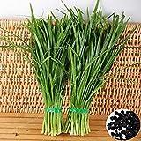Semillas de cebollino chino nutritivo orgánico vegetal sano del alimento verde Allium tuberosum de ajo cebollino semillas de la herencia 100 PCS