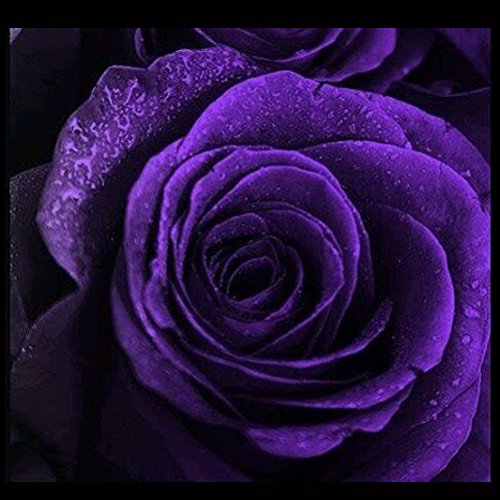Rosepoem 50 piezas semillas de rosas púrpuras semillas de flores de c