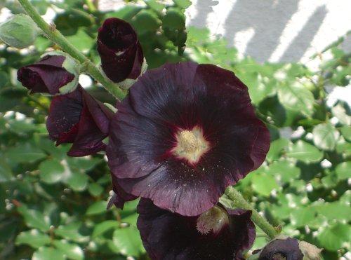 Seedeo Schwarze Malve (Althea rosea VAR. nigra) 80 Samen
