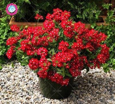 graines 100pcs Verveine seeds.Verbena HORTENSIS, graines de bonsaï rares fleurs Hanging plantes balcon intérieur fleurs pour le jardin de la maison 8