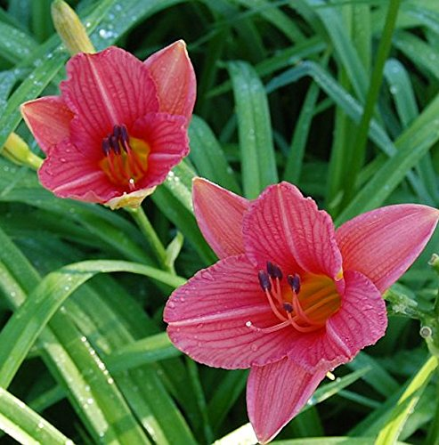 Taglilie Watermelon - Hemerocallis