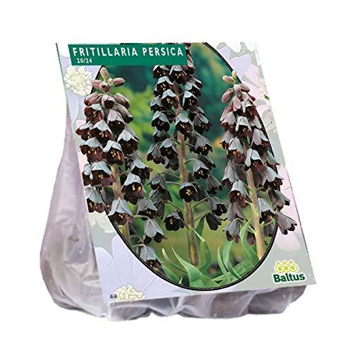 Fritillaria Persica 3 Stück Kaiserkrone Blumenzwiebel
