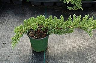 Dwarf Japanese Garden Juniper Nana Bonsai Tree Healthy Evergreen Plant 4