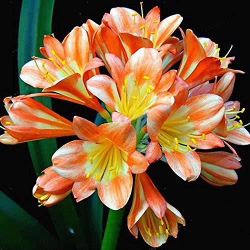 Ultrey Samenshop - 50 Stück Immergrüne Clivia Samen Topfpflanzen Clivia Bonsai mehrjährige, winterhart für Ihr Garten, Balkon, Terassen