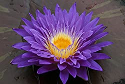 Water lilies grow well in a variety of pond depths