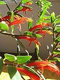 Plant goldfish ** (colonna gloriosa) Vendiamo semi non solo la pianta. Il prezzo include funzioni customes Seeds è il pacchetto completo. Trasporto che a livello internazionale