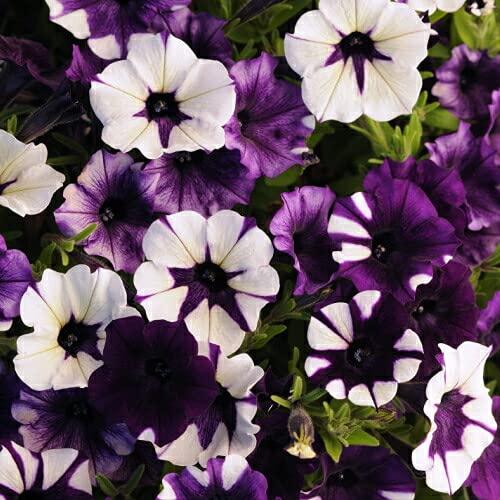 ペチュニア いちまつ 1株 M&Bフローラ 寄せ植え 季節の花苗 イングリッシュガーデンに