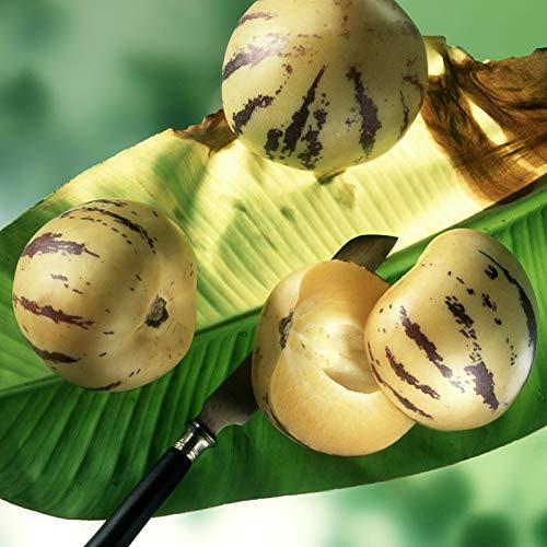Pepino Samen, 1 Beutel Pepino Seed Nahrhafte Medicinal Fragrant Rustic Gemüsesamen für Ideal im Freien Garten Geschenk