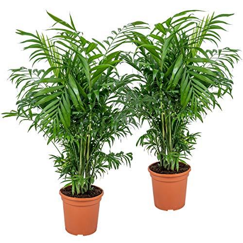 Chamaedorea 'Elegans' | Mexikanische Zwergpalme 2 Stk. - Zimmerpflanze im Aufzuchttopf cm15 cm - 60-70 cm