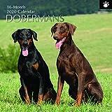 2020 Wandkalender - Doberman Kalender, 30 x 30 Zentimeter Monatsansicht auf Englisch, 16-Monat, Hunde und Haustiere Thema, Enthält 180 Anzeigen-Aufkleber