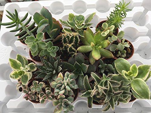 Piante grasse in vaso cm. 3,5 set N. 16 piante.