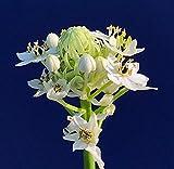 Germination Les graines: ORNITHOGALUM saundersiae en A 4' Pot, Plante à bulbe a été ensemencé