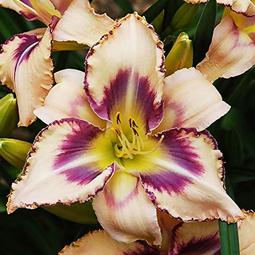 Taglilie blumen Gartenpflanzen winterhart Blumen für garten Hemerocallis 1x Rhizom Destined to See