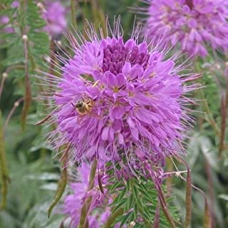 Cleome Rocky Mountain Beeplant Flower Seeds (Cleome Serrulata) 50+Seeds