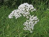 Asklepios-seeds® - 500 Semi di Valeriana officinalis, La valeriana comune
