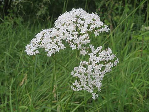 Asklepios-seeds® - 500 Semillas Valeriana officinalis Valeriana, valeriana común, valeriana de las boticas, valeriana medicinal, alfeñique, hierba o yerba de los gatos
