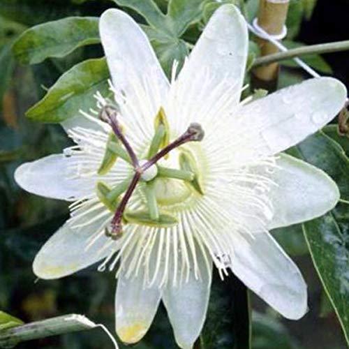 Passiflora Caerulea 'Constance Elliot' - Passionsblume 50-60 cm Pflanzcontainer