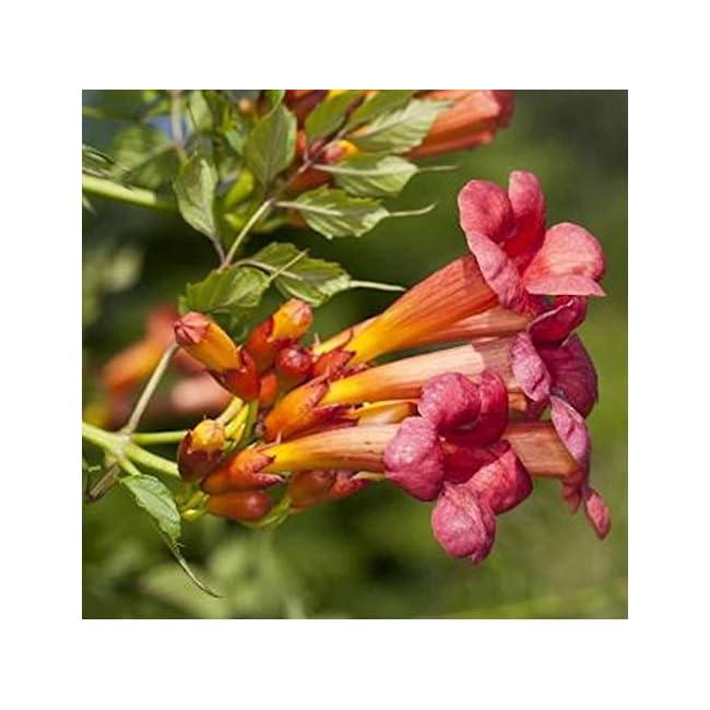 Campsis grandiflora Trompetenblume Golden trumpet 60-80cm