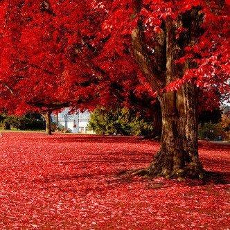 Particules de 50 magnifiques japonais Érable Rouge Graines, arbre de graines