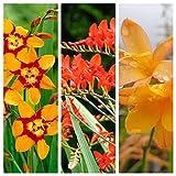 Crocosmia Plant Mix x 3 Plants Including Varities Like Lucifer - Emily McKenzie - Fairy Crimson in 9cm Pots