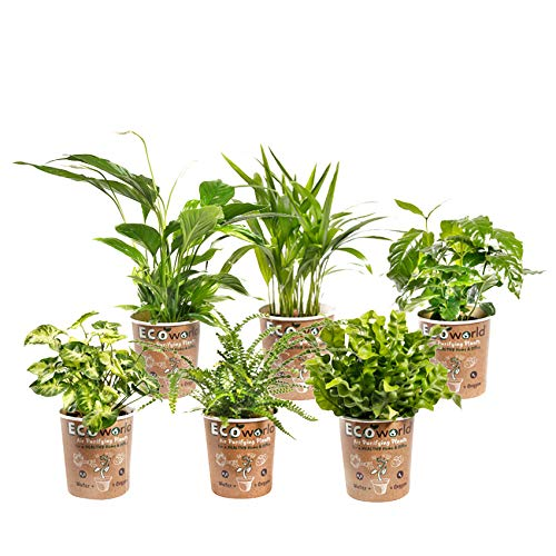 Ecoworld Luftreinigung Zimmerpflanzen - 6 Stück - Topfgröße Ø 12 cm - Pflanzenhöhe 25-40 cm
