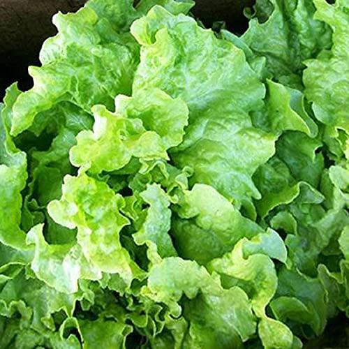 David's Garden Seeds Lettuce Loose Leaf Black Seeded Simpson 4255QC (Green) 200 Non-GMO, Heirloom Seeds