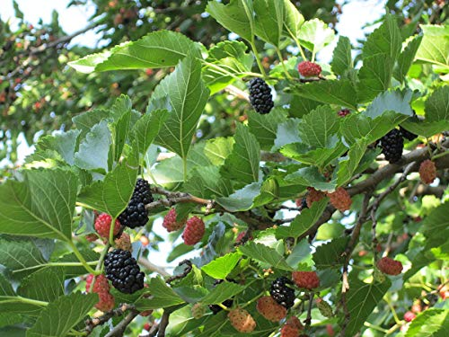 Koreanische Zwerg-Maulbeere Morus acidosa 'Mulle' Pflanze 25-30cm Maulbeerbaum