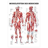 Sport-Tec Muskelsystem Poster Anatomie 70x50 cm