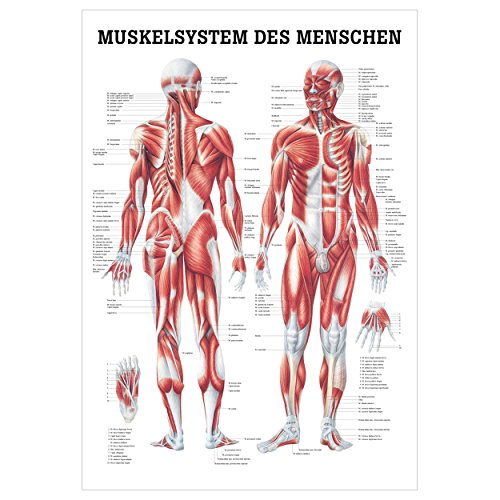 Sport-Tec Muskelsystem Poster Anatomie 70x50 cm medizinische Lehrmittel