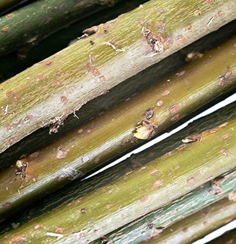 Weide für Weiden-Häuser und -Bauten sowie Energieholz im Energiewald, Kurzumtrieb/KUP, Salix viminalis-Züchtung Inger, Korbweide, Strauchweide (20 Weideruten 100 cm)