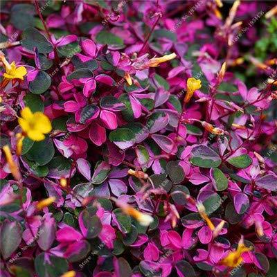 ShopMeeko SEEDS: 100Pcs seltene exotische Regenbogen Oxalis Bonsai Pflanzen Oxalis Lila Kleeblatt-Klee-Gartenhausgarten: Rot