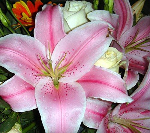 Hot! 100 pièces 16 couleurs Lily Graines New Garden Flowers Four Season Semis Monde Graines de fleurs rares pour le jardin