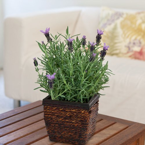 Aromatic Lavender Plant in Wood and Wicker Basket - Live Plant - Green Gift - Cut Flower Alternative - Housewarming Gift Plant - Happy Birthday Gift Plant - Thank You Gift Plant - Congratulations Gift Plant