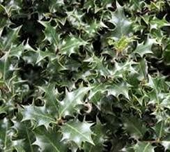 Dragon Lady Holly Tree - Live Plant - Trade Gallon Pot