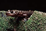 The Poster Corp Larry Minden – Pacific Giant Salamander