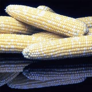 Honey 'n Pearl Hybrid Sweet Corn 150 Seed Jung003